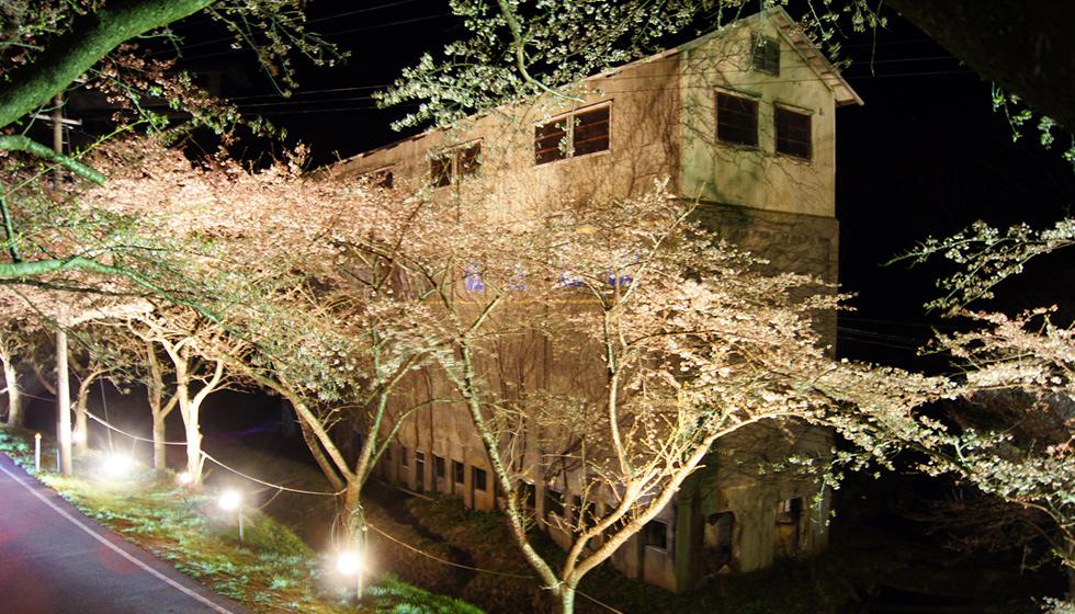 佐渡金山の桜並木