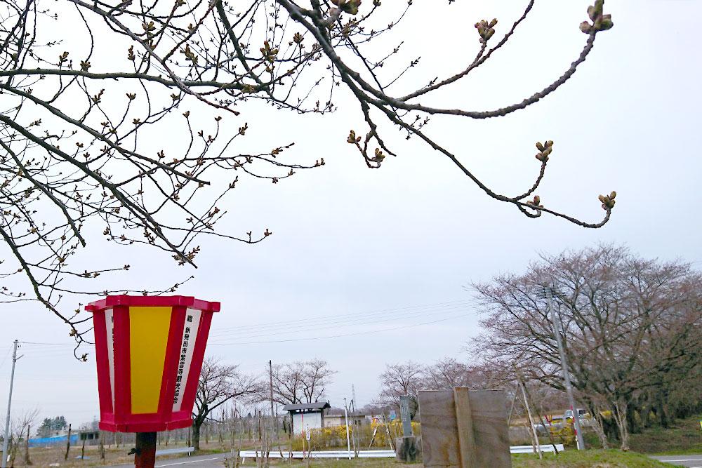 加治川治水記念公園_新発田市_桜