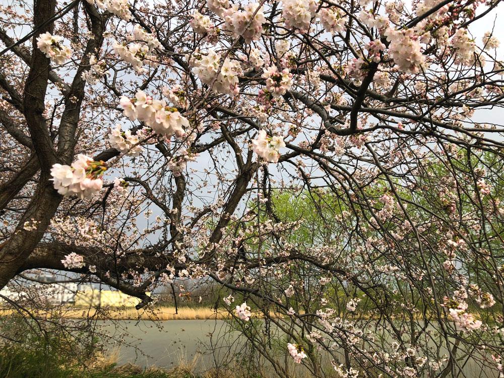 新潟とやの湖桜まつり 開花状況