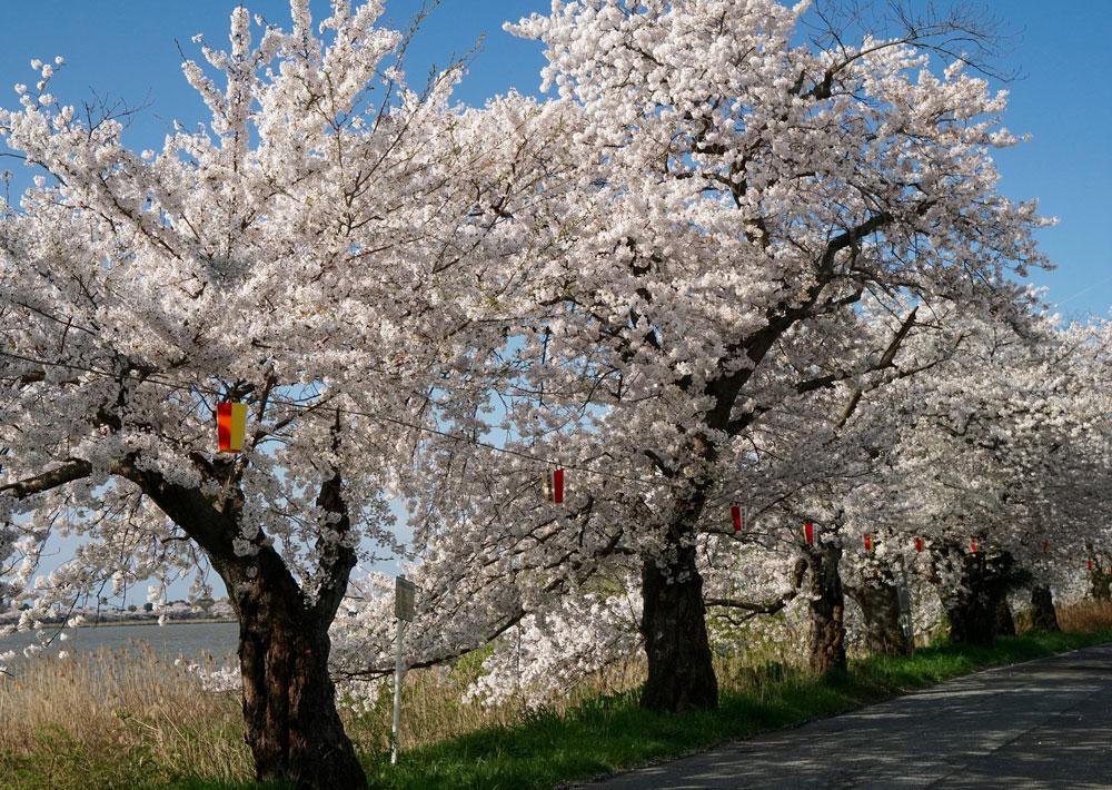 新潟とやの湖桜まつり ぼんぼり