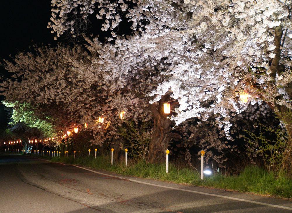 新潟とやの湖桜まつり ライトアップ