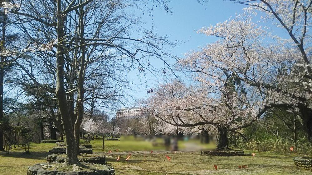 赤坂山公園_桜