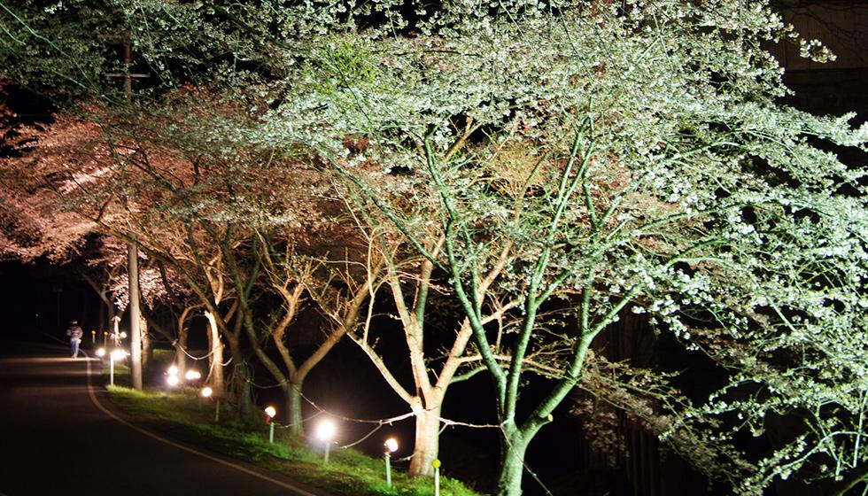 佐渡金山_桜並木ライトアップ